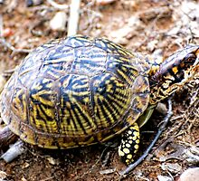 North American Box Turtle #2 by barnsis