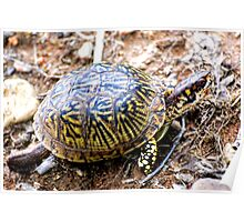 North American Box Turtle #2 Poster