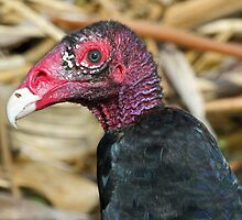 Turkey vulture-ugly face but pretty colors! by jozi1