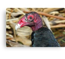 Turkey vulture-ugly face but pretty colors! Canvas Print