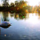Basking in the rays of the sun - swan by Penny V-P