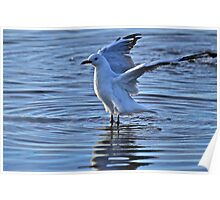 Australian Gull shot in late light with Sigma 150-500mm Poster