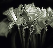 Daffodil Duotone    by Jessica Jenney