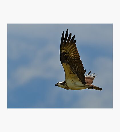 Osprey in flight Photographic Print