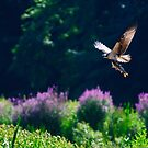 Osprey fishing by Cycroft