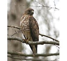 Broad-Winged Hawk  Photographic Print