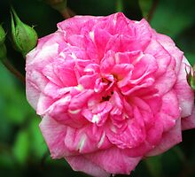 Pink Delight by Cynthia48