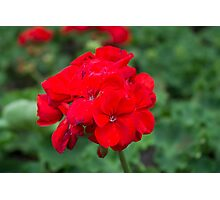 Red Geranium Photographic Print