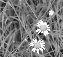 Daisy black and white by KristaRebel