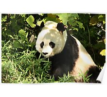 Panda in the Shade Poster