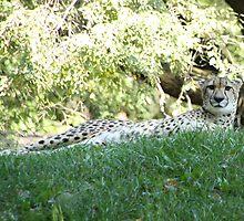Leopard Lounging by Carol Bock