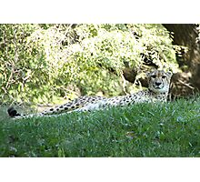 Leopard Lounging Photographic Print