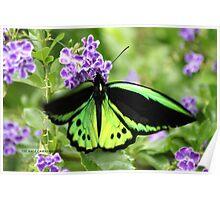 Cairns birdwing 2 Poster