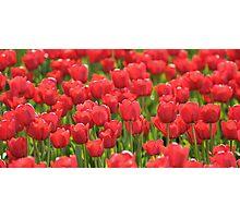 Red Illuminated Tulips Photographic Print