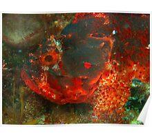 scorpionfish rottnest island reef  Poster