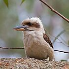 Kookaburra on tree branch by Ken Griffiths