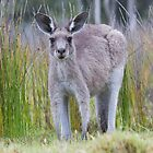 Eastern Grey Kangaroo by Ken Griffiths