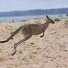 Eastern Grey Kangaroo Hopping by Ken Griffiths