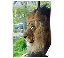 Lion Pride Poster