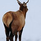 Spike elk in Montana snow. by Donna Ridgway