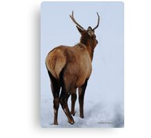Spike elk in Montana snow. Canvas Print