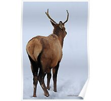 Spike elk in Montana snow. Poster