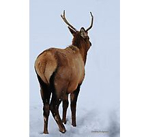 Spike elk in Montana snow. Photographic Print