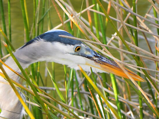 Great Heron Hunting by Rosalie Scanlon