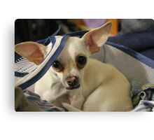 Chihuahua and the Laundry Safety Message Canvas Print