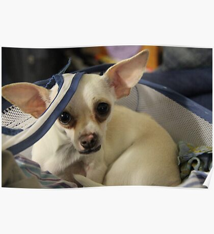 Chihuahua and the Laundry Safety Message Poster