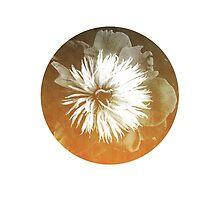 My favorite flower - peony by halfoften