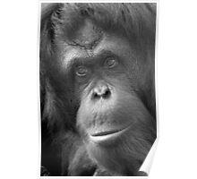 """Pensive Primate"" - orangutan portrait Poster"