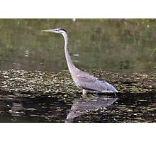 Great Blue Heron in a pond Photographic Print