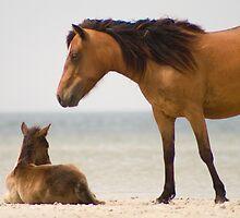 """""""Protector"""" - wild horses on the beach of Cedar Island, NC by John Hartung"""