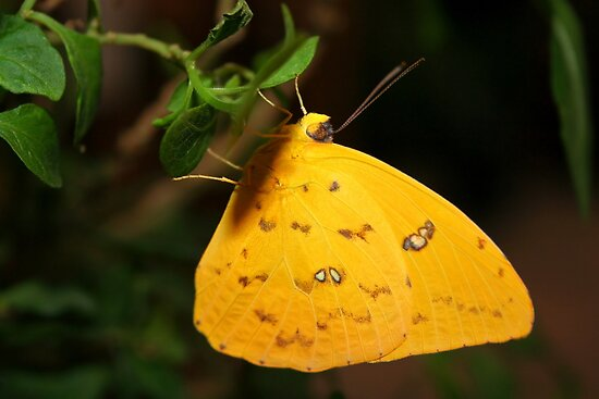 African Migrant - Catopsilia florella by Lepidoptera