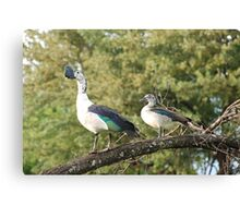 morning perch.  knob-billed duck. Canvas Print