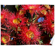 Australian Red Flowering Gum Poster
