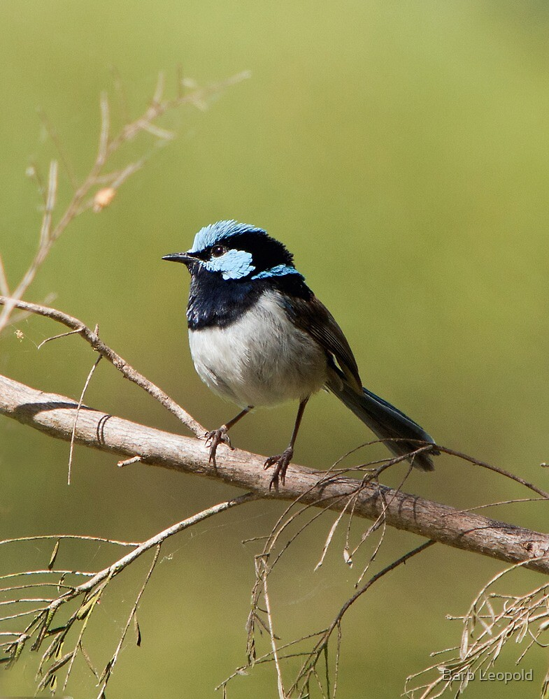 Fairy Wren at Laratinga by Barb Leopold