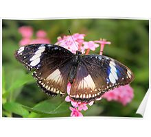 Open Wings Great Eggfly - Hypolimnas bolina Poster