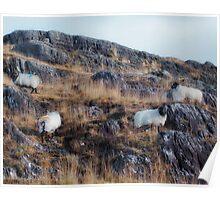 Sheeps, near Clifden, Ireland Poster