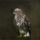 Buzzard by hampshirelady