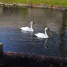 Trumpet swans by Adventures