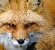 Red Fox by Alain Turgeon