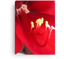 Amaryllis named Black Pearl Canvas Print