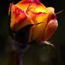 Glowing Rose by Lincoln Stevens