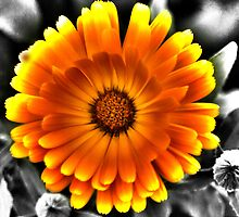 Gerbera Daisy by Dean Messenger