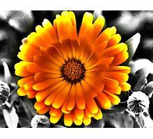 Gerbera Daisy Photographic Print