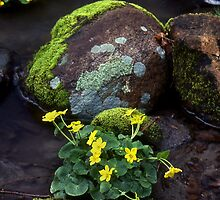 Marsh Marigolds in Forest Brook by Tony Ramos