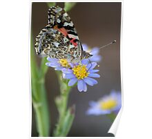 American Lady on Asters Poster