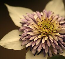 White Clematis by crystalseye